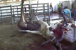 CIWF Karantina Slaughterhouse 2