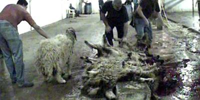CIWF Karantina Slaughterhouse 4