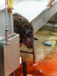 Bleeding of sheep after cut