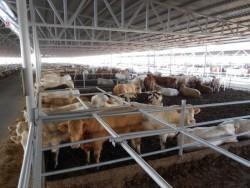 Refuge in lairge for bulls