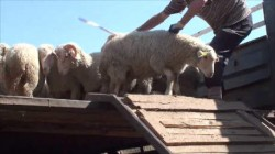 Steep unloading ramp and no lateral protection: stressful for the animals and risk of injury!