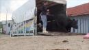 Goeren falling bull