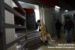 Downer animal hoisted alive
