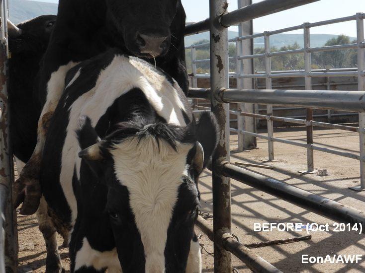 Animal Welfare at Slaughter