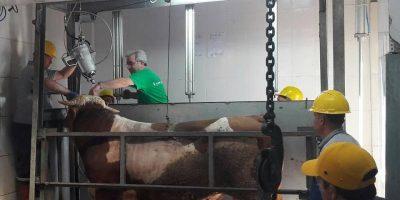 Stunning at turkish slaughterhouse