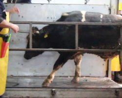 Corlu slaughterhouse
